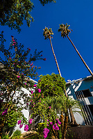 Palm trees and flowers, Chase Knowles, Sherman Oaks (Los Angeles), California USA.