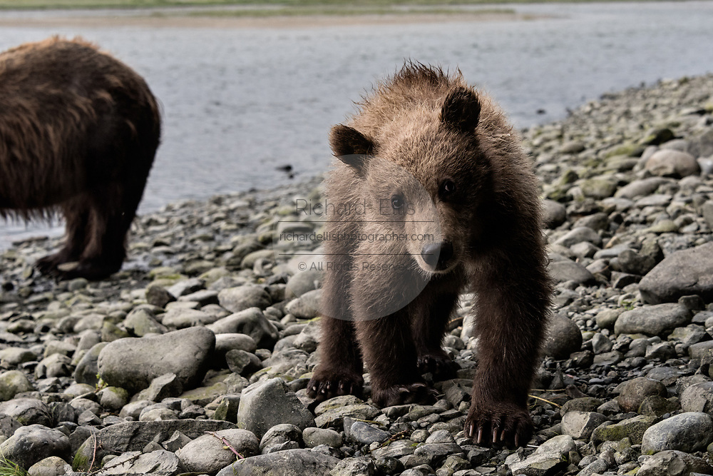 A curious brown bear cub checks out human visitors during a close encounter bear viewing at the McNeil River State Game Sanctuary on the Kenai Peninsula, Alaska. The remote site is accessed only with a special permit and is the world's largest seasonal population of brown bears in their natural environment.