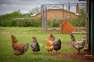 Urban chicken farming. backyard chickens.