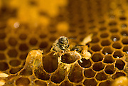 In late summer drones will be forced out of the hive and prevented from re-entering by guard bees. Their mating services no longer required and in the bees industrious society usefulness is everything.