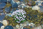 Coastal wildflowers, Sea Thrift or Sea Pink - Armeria maritima - and seaweed on rock boulders on shoreline in Argyll, Western Scotland
