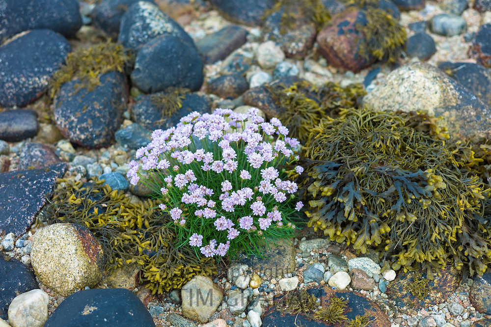 Coastal wildflowers, Sea Thrift or Sea Pink - Armeria maritima - and seaweed on rock boulders on shoreline in Argyll, Western Scotland