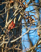 Male Northern Cardinal perched on a branch. Image taken with a Nikon D300 camera and 80-400 mm VR lens (ISO 200, 400 mm, f/5.6, 1/400 sec).