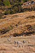 Merino Sheep, Central Otago, New Zealand