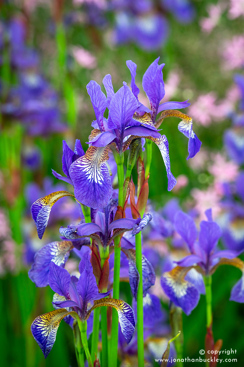 Iris 'Tropic Night' - Siberian iris