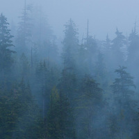 Old growth forest in the rain and fog. Revelstoke, British Columbia.