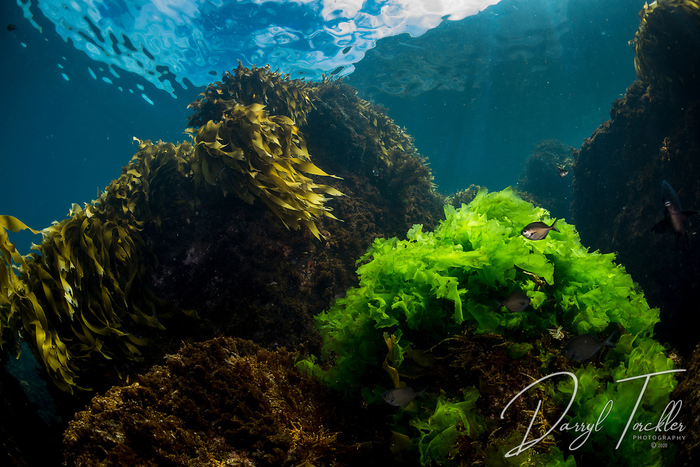Lettuce algae light up with the sun in shallaw water off Arid Island. New Zealand