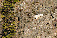 Mountain Goat (Oreamnos americanus) and kid foraging on a cliff along the Chilkat River in Southeast Alaska. Winter. Afternoon.