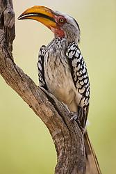 Portrait of a yellowbilled hornbill (Tockus flavirostris) sitting on a branch, Moremi, Botswana