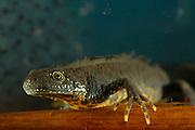 Great Crested Newt or Northern Crested Newt, male (Triturus cristatus) eating frogspawn. Lake Selent (Selenter See), Germany | Sattgefressen ruht das bis zu 18 cm große Kammmolch-Männchen (Triturus cristatus) neben den Resten des Froschlaich-Ballens.