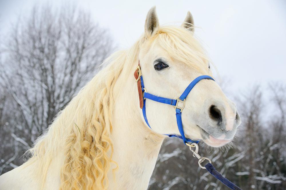 White horse head shot mane hair in long curls, winter in Pennsylvania, PA, USA