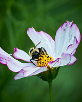 Bumble Bee on a Cosmos Flower. Image taken with a Nikon 1 V3 camera and 70-300 VR lens.