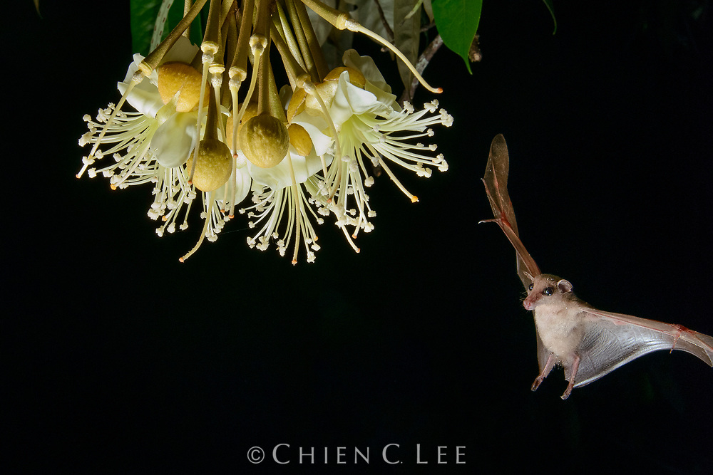 Nectar-feeding bats play an essential role in the pollination of many rainforest trees. Here, a Long-tongued Nectar Bat (Macroglossus minimus) arrives at the night-blooming blossoms of a durian tree (Durio zibethinus). Prized for its delectable aromatic fruit, the productivity of many durian plantations is under threat where the native bat populations have been killed off by hunters.  Sabah, Malaysia.
