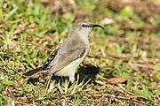 female miombo double collared sunbird, Seldomseen, Bvumba, Manucaland Province, Zimbabwe