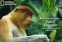 A female proboscis monkey  (Nasalis larvatus) munches on leaves in Kinabatangan Wildlife Sanctuary, Borneo Island.