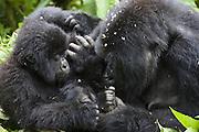 Mountain Gorilla<br /> Gorilla gorilla beringei<br /> Mother grooming 2 year old baby <br /> Parc National des Volcans, Rwanda<br /> *Endangered species