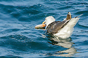 Great Black-backed Gull - Larus marinus feeding on the fish in the water