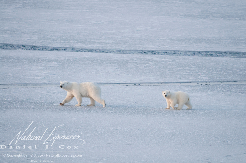 A mother polar bear with one of her two cubs navigate the newly forming and unstable ice in the Chukchi Sea.