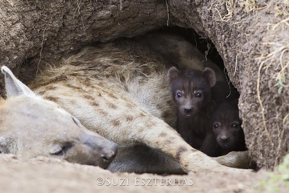 Spotted Hyena<br /> Crocuta crocuta<br /> 15 day old cubs peeking out of den<br /> Masai Mara Conservancy, Kenya