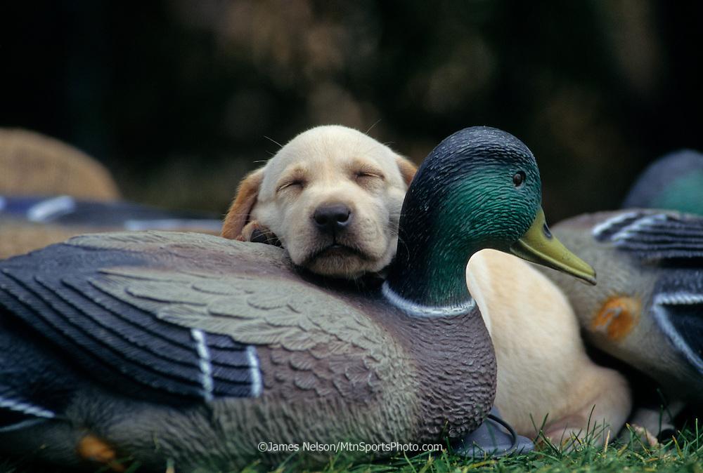 34-317. A yellow Labrador retriever puppy naps on a mallard duck decoy.