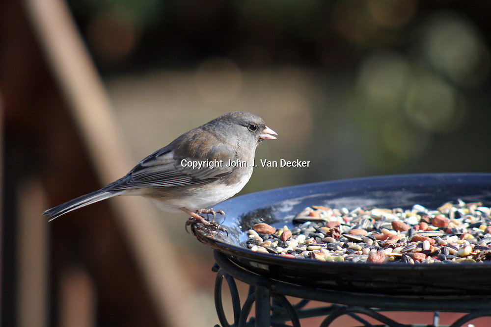 Dark-eyed Junco, Junco hyemalis, female, at feeding plate of fruits and nuts