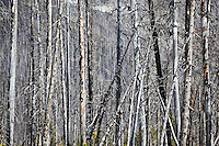 Burned Forest, Kootenay National Park, B.C., Canada