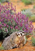 350103-1066 ~ Copyright: George H. H. Huey ~ Badger [Taxidea taxus]. Southeast Utah.