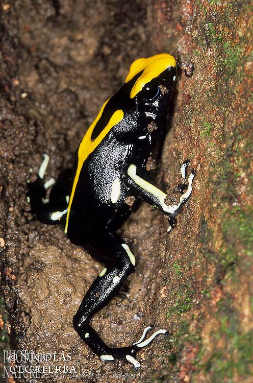 DENDROBATE A TAPIRER, Dendrobates tinctorius, Guyane Française