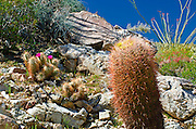 Englemann Hedgehog (Echinocereus engelmannii) and barrel cactus in Plum Canyon, Anza-Borrego Desert State Park, California USA