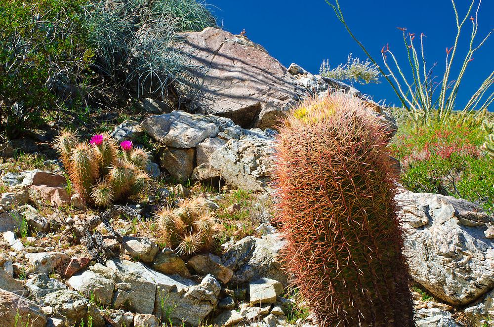 Englemann Hedgehog (Echinocereus engelmannii) and barrel cactus in Plum Canyon, Anza-Borrego Desert State Park, California USA
