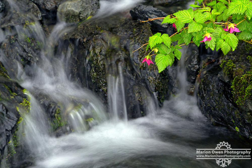 A sprig of salmonberry flowers and leaves drape over waterfall, Kodiak, Alaska