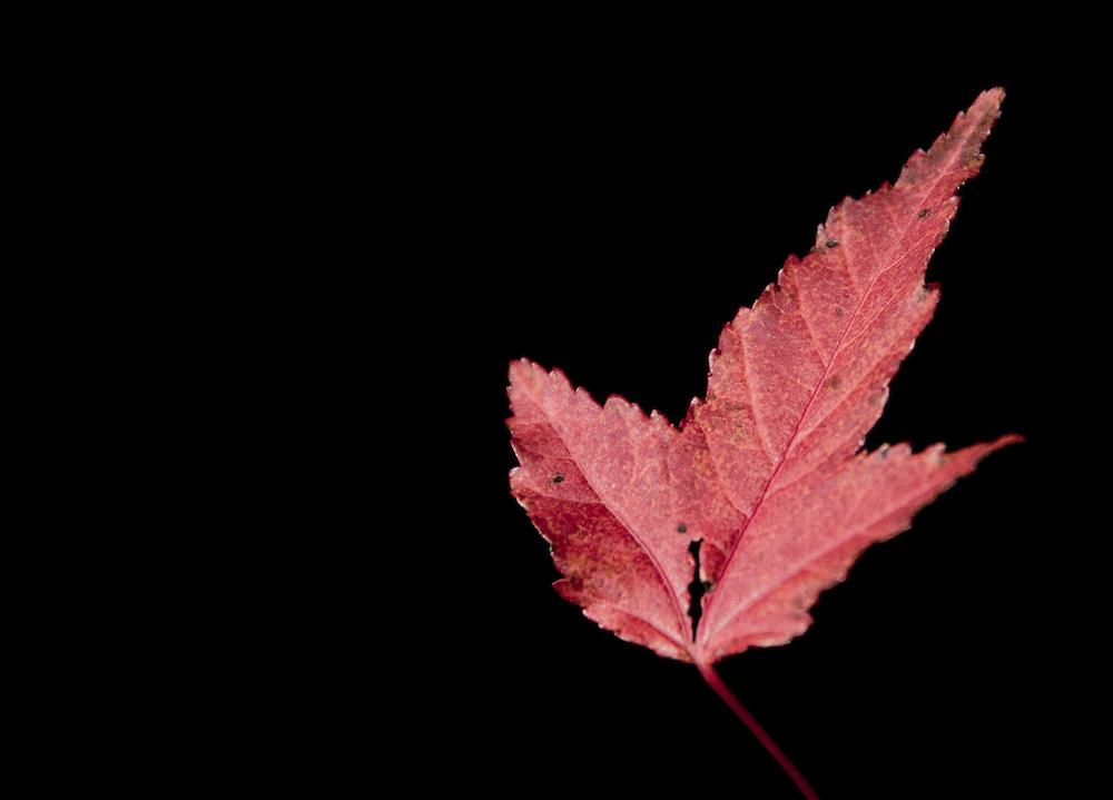 red leaf on black background