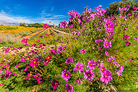 Flowers with a field of lavender in background, Los Poblanos Historic Inn & Organic Farm, Los Ranchos de Albuquerque, Albuquerque, New Mexico USA