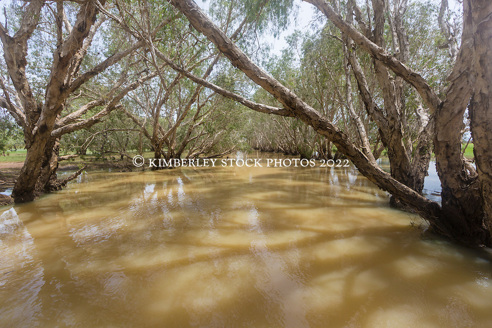 Paperbarks line a river on Liveringa Station as the river rises in the Kimberley wet season.