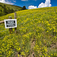 Leafy spurge infests private land near Grant Creek in Missoula.