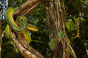 Emerald Tree Boa (Corallus caninus)<br />