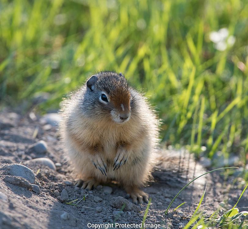 Columbian Ground Squirrel. (Urocitellus columbianus), Alberta, Canada, Isobel Springett