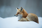 Red Fox in Aspen CO