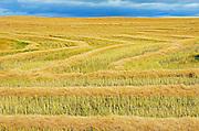 Canola crop<br /> Morse<br /> Saskatchewan<br /> Canada