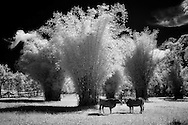Vietnam Images-Fine art-Infrared-Tree hoàng thế nhiệm