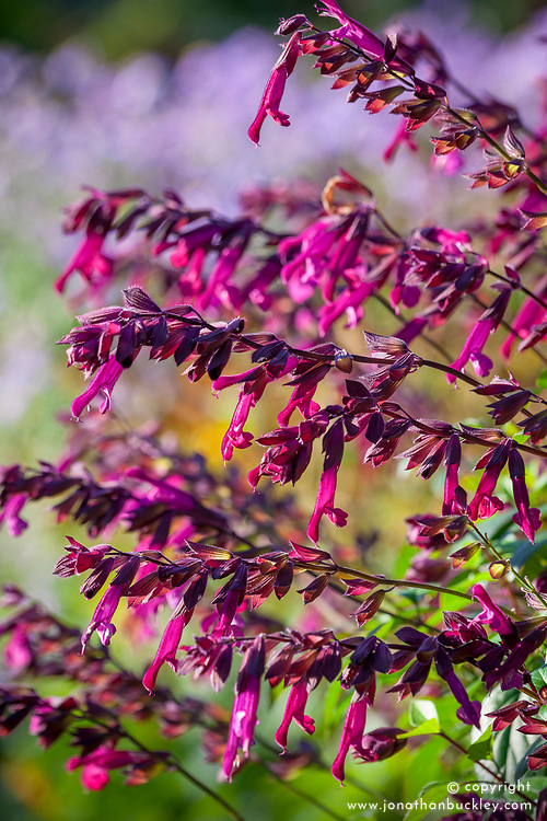 Salvia Love and Wishes = 'Serendip6'