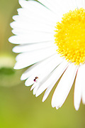 Photo daisy flower and ant, matted print, wall art, macro, close up, bokeh. California nature, garden, photography. Santa Monica, Westside, Venice, Los Angeles, Fine art photography limited edition.