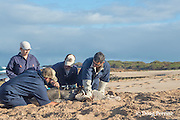 NOAA researcher Dr. Charles Littnan (center) measures the girth of a Hawaiian monk seal, Monachus schauinslandi, to which he has just attached a Crittercam and tracking instrumentation package; west end of Molokai, Hawaii, photo taken under NOAA permit 10137-6, Ho ike a Maka Project