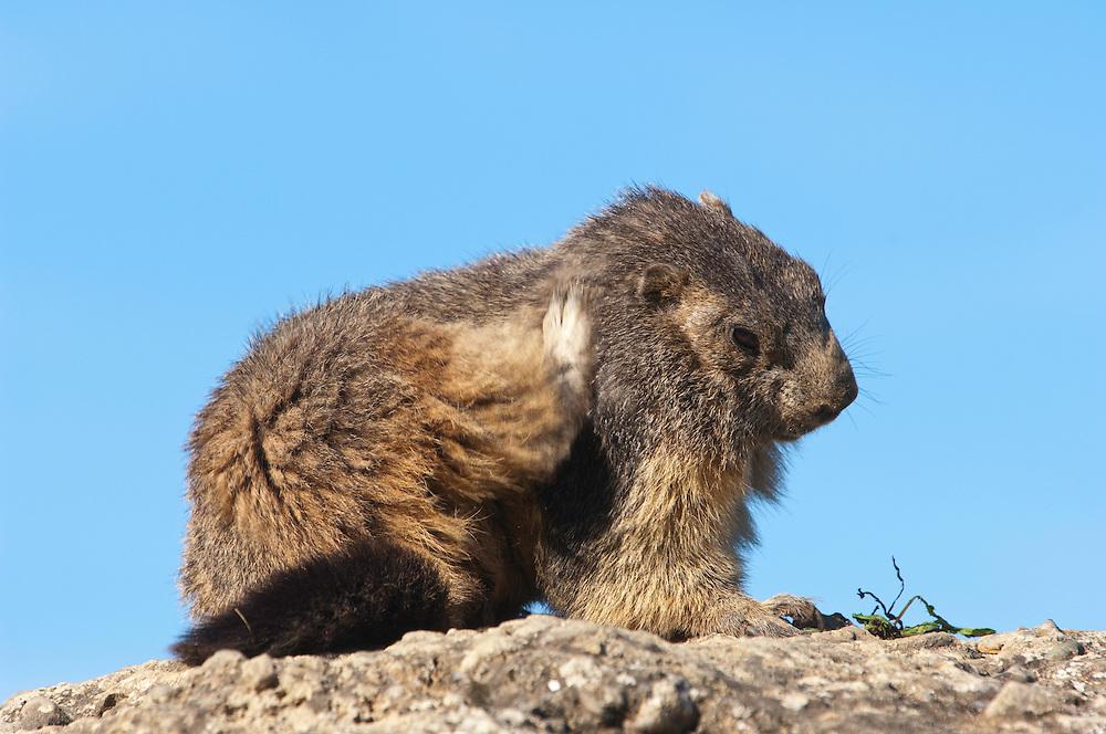 Alpine marmot scratching, Marmota marmota, Guillestre, Queyras, France, Europe