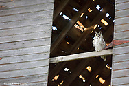 Great Horned Owl in old barn along Willow Creek near roberts Montana