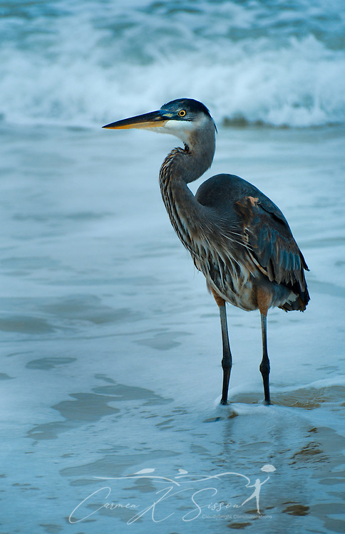 A Great Blue Heron stands among crashing waves Dec. 25, 2011 on Dauphin Island, Alabama (Photo by Carmen K. Sisson/Cloudybright)