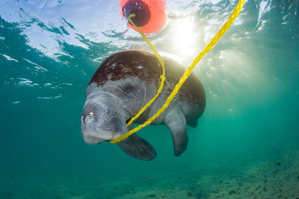 Endangered Florida Manatee (Trichechus manatus latirostris) playing with a boat's float and nylon rope in the Lake Worth Lagoon in West Palm Beach, FL