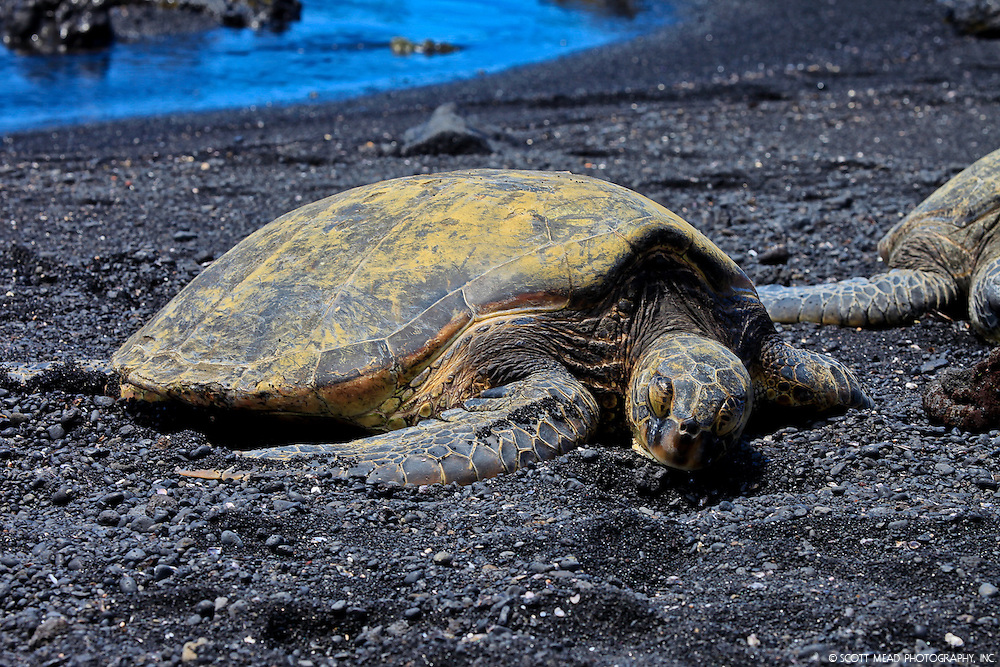 A Hawaii Green Sea Turtle rests after a day of eating algae and sea grass at Punaluu Bay, Big Island, Hawaii