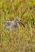 Willet, Bolsa Chica Ecological Reserve, North America
