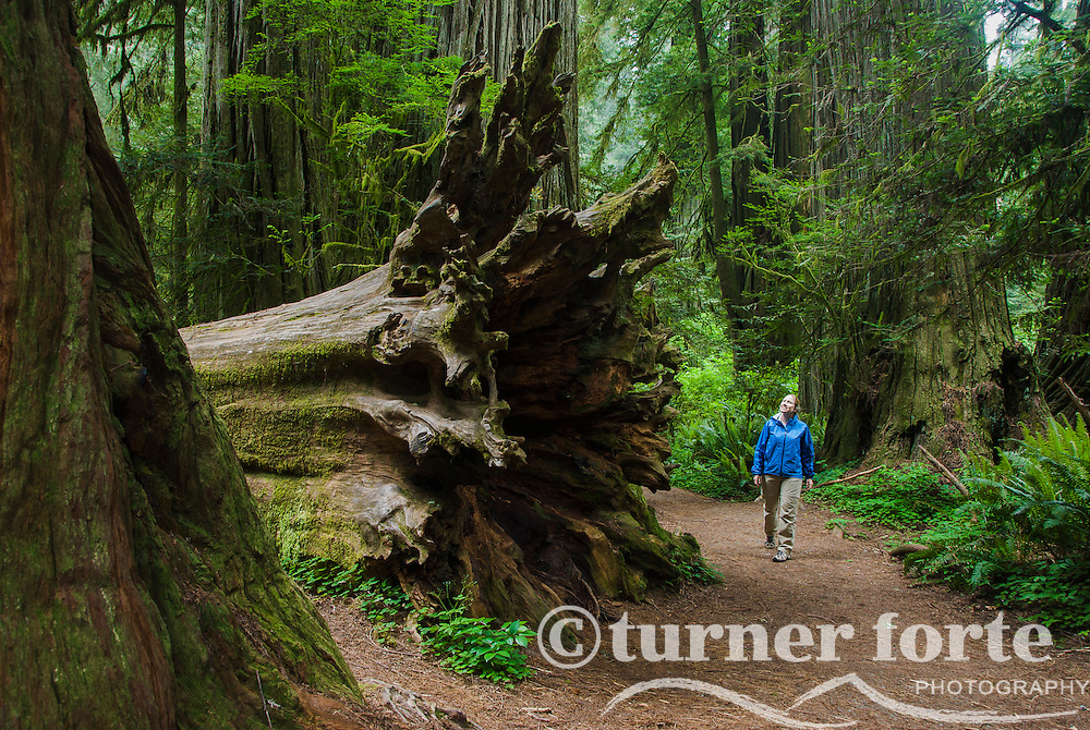 Woman views roots of fallen Redwood Tree in Simpson-Reed Grove, Jedediah Smith Redwoods State Park, Redwood National Park, California.
